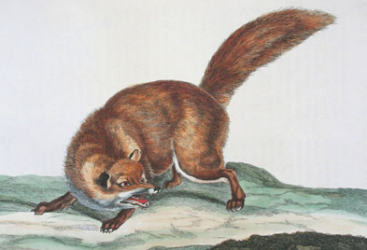 Illustration of a fox from: Thomas Pennant. The British zoology. London, 1766
