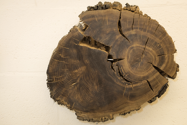 Cross section of tree ready for dendrochronology analysis